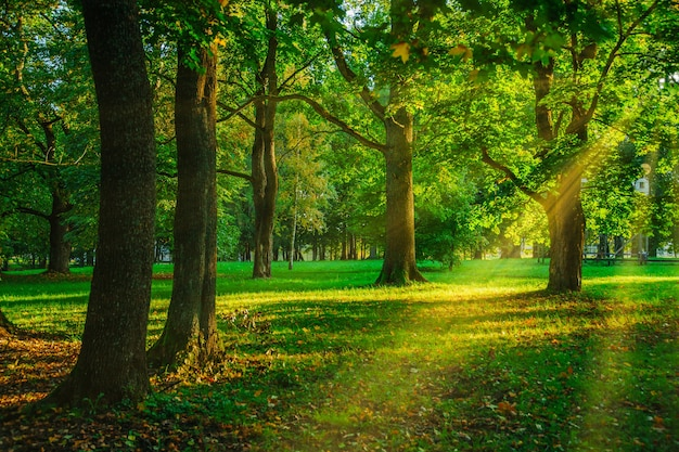 Bosque verde en el horario de verano con rayos de sol rompiendo a través de los árboles