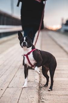 Boston terrier blanco y negro en carretera durante el día