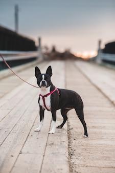 Boston terrier blanco y negro en el muelle de madera marrón durante el día