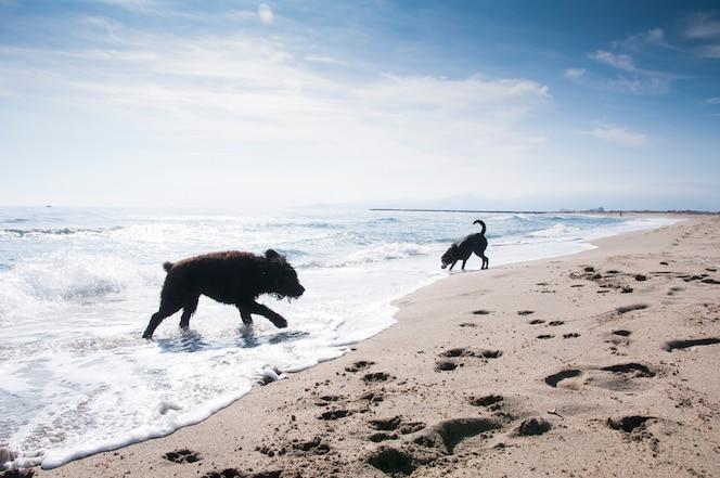 Bouvier des flandres y perros labrador se divierten en las olas en la orilla del mar