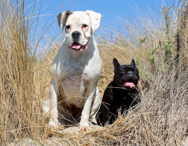 Boxeador y bulldog francés