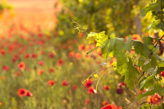 Brillantes amapolas rojas en un viñedo.