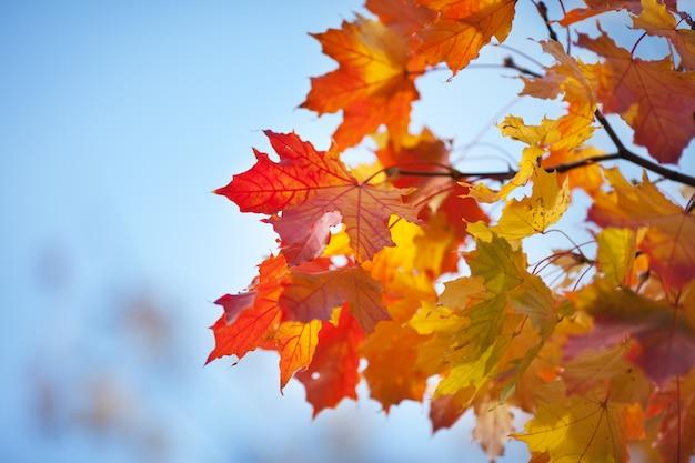 Brillantes hojas de otoño de un arce contra el cielo azul