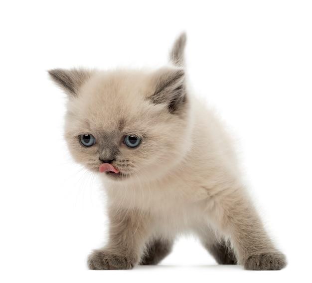 British shorthair kitten lamiendo su nariz (9 semanas de edad)