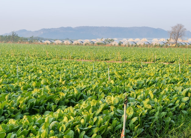 Brócoli chino o plantación de col rizada china en vista de la mañana