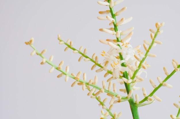 Bromelia o aechmea fasciata flores tropicales.