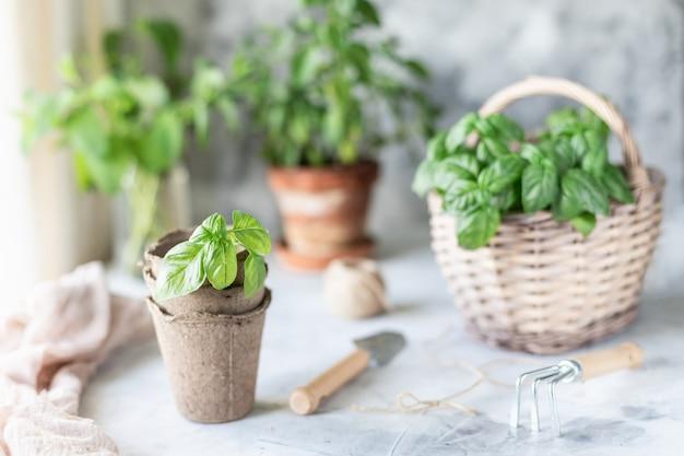 Brota hierbas en la olla y la canasta. siembra en primavera.