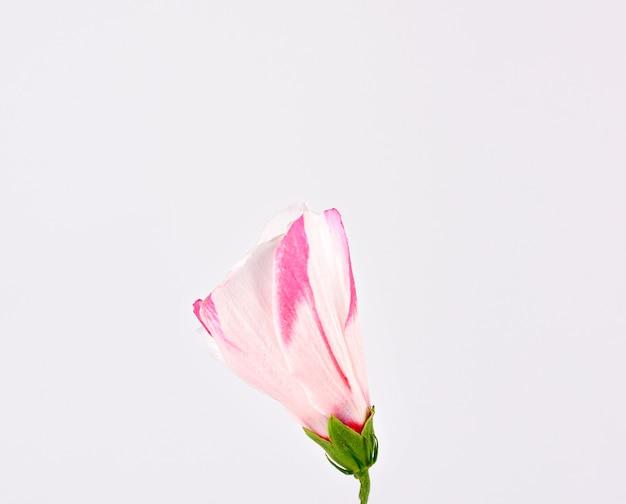 Brote cerrado de hibisco blanco rosado sobre un fondo blanco.