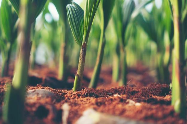 Brote de cocotero, germinación de germen de coco joven, licencia verde