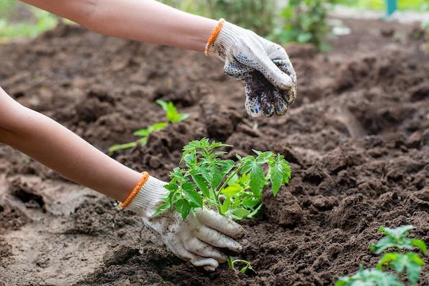 Brote plantado de plántulas germinadas