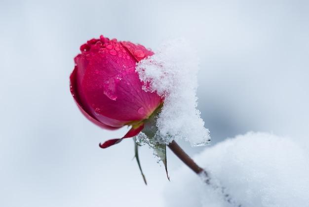 Brote de rosa cubierto de nieve, una repentina nevada. flor color de rosa en invierno.