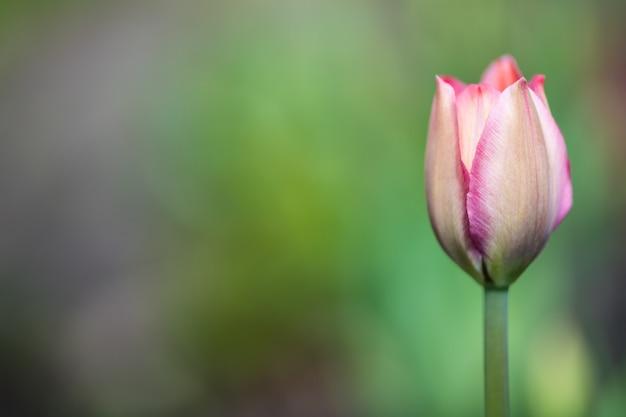 Un brote de tulipán rosado en la parte derecha de la foto sobre fondo verde borroso