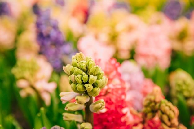 Brotes coloridos del hyacinthus del primer en el jardín