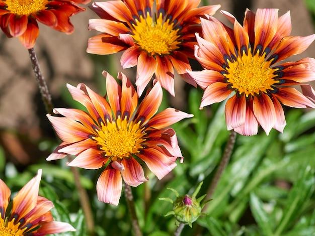Brotes en flor de naranja rosa gazania