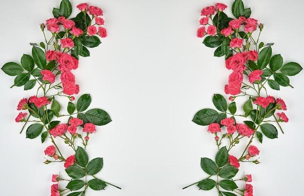 Brotes florecientes de rosas rosadas y hojas verdes