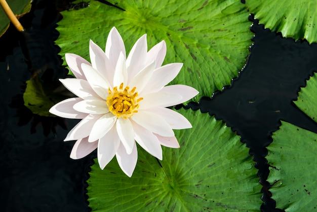 Brotes de loto amarillos y rosados y florecen maravillosamente
