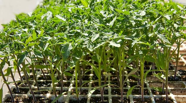 Brotes de tomate en plantación del campus