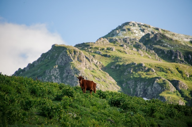 Brown vaca de pie en la colina cubierta con una hierba verde en el backgrpund de montaña