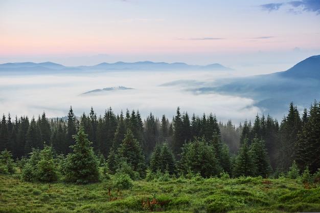 Brumoso paisaje de montaña de los cárpatos con bosque de abetos, las copas de los árboles sobresalen de la niebla.