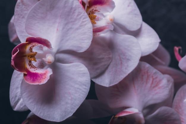 Bud orquídea en flor