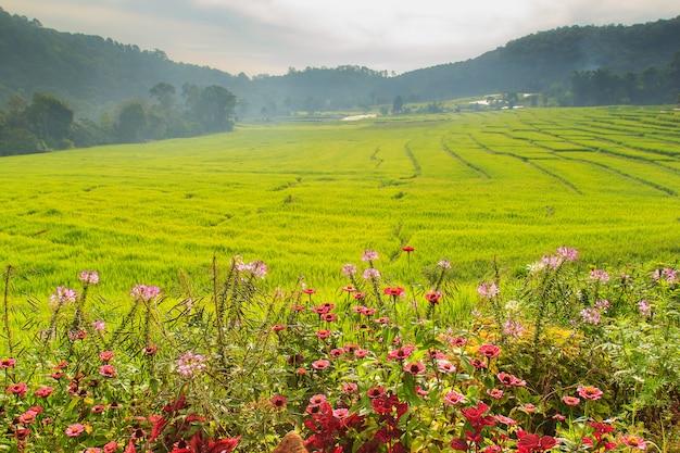 Buenos días campo de arroz en terrazas verdes en mae klang luang, mae chaem, chiang mai, tailandia