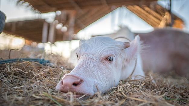 Búfalo blanco en pastur