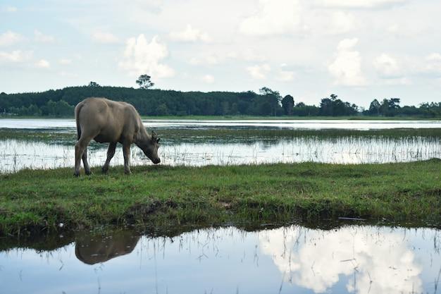 Búfalo en campo comiendo hierba en tailandia