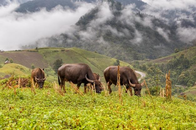 Búfalo pastan en alta montaña en mae la noi
