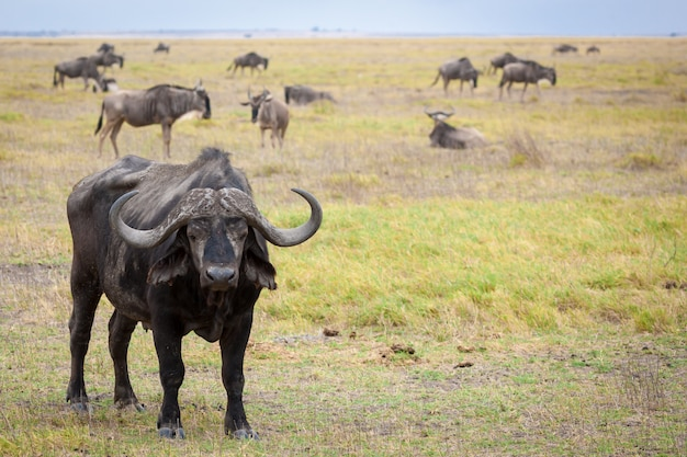 Búfalo de pie en la sabana de kenia