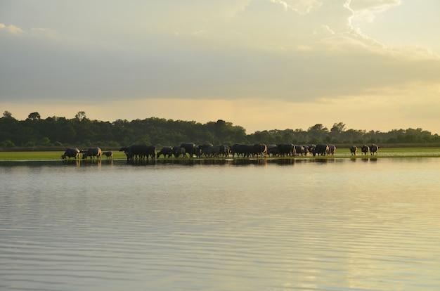Búfalo y rive puesta de sol