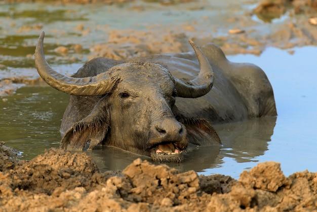 Los búfalos de agua se bañan en un lago en sri lanka