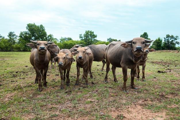 Búfalos de tailandia en el campo de arroz