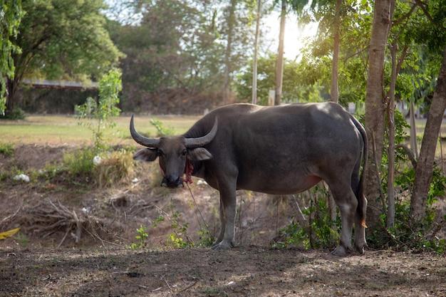 Buffalo mascota de pie en el parque para la vida de gobernante agricultor. búfalo