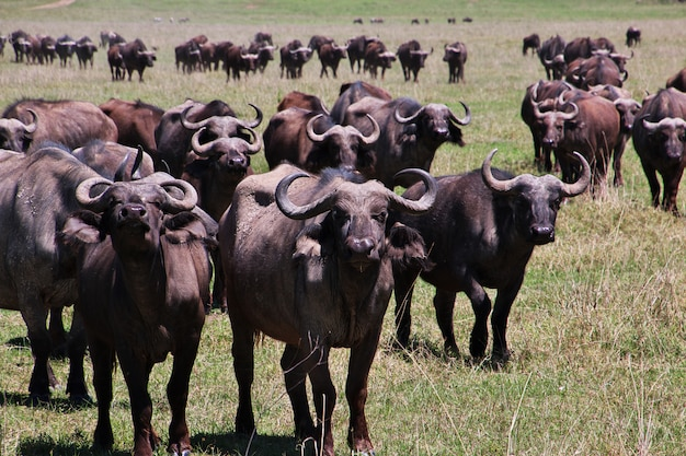 Buffalo en safari en kenia y tanzania, áfrica