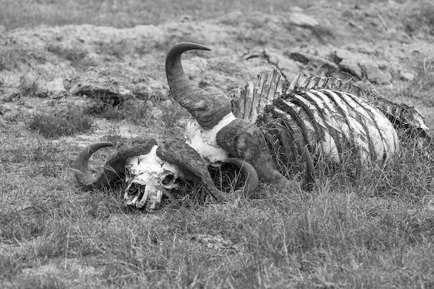 Buffalo skull en savannah, áfrica
