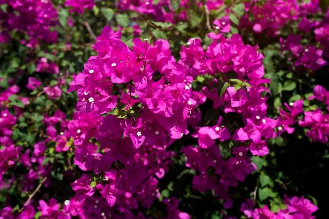 Buganvilla rosada flor real