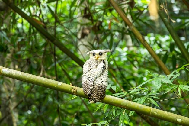 Búho, búho real (bubo nipalensis) búho real del bosque