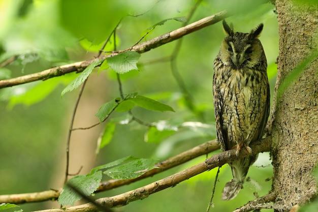 Búho de orejas en hermoso hábitat verde