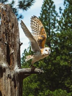 Búho en la rama de un árbol con las alas extendidas, a punto de volar, en el high desert museum
