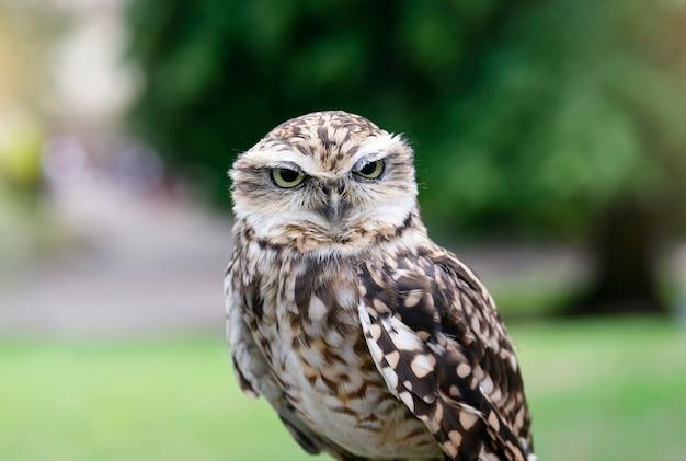 Búho real con ojos divertidos mirando a cámara, primer plano de lindo pájaro salvaje con naturaleza borrosa