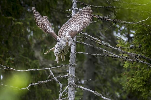 Búho volando desde la rama de un árbol en el bosque