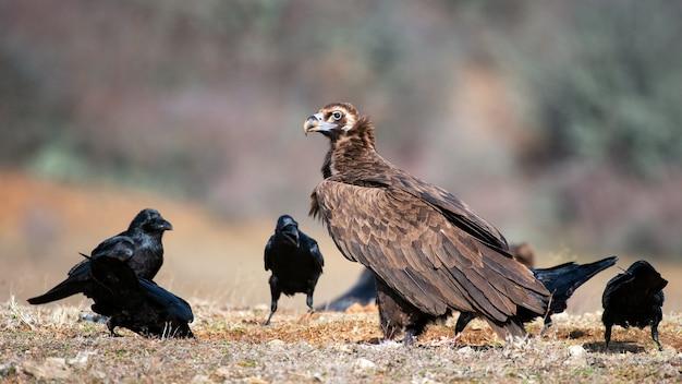 Buitre cinereous (aegypius monachus) y cuervo (corvus corax) en estado salvaje.