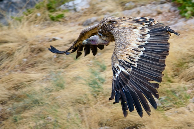 Buitre leonado gyps fulvus en vuelo