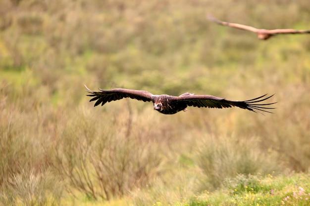 Buitre negro volando con las primeras luces del día