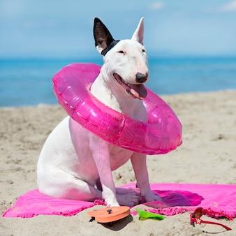 Bull terrier en la playa