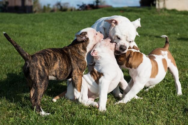 Bulldog americano cachorro con madre están jugando