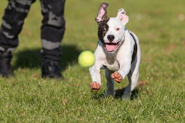 Bulldog americano corriendo en el parque persiguiendo una pelota de tenis