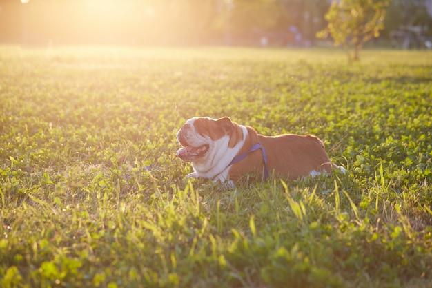 Bulldog británico juega en el parque