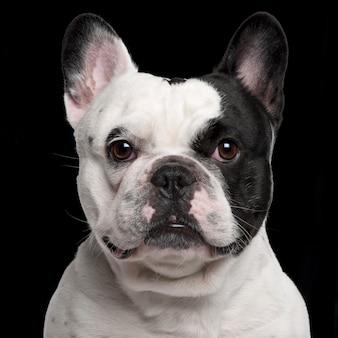 Bulldog francés, 3 años de edad,