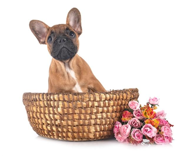 Bulldog francés aislado en blanco